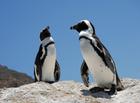 ペンギンが生息するボルダーズビーチ