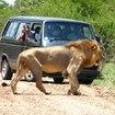 迫力の雄ライオン