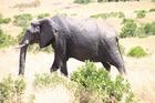 マサイマラ国立保護区とナクル湖国立公園で野生動物探し