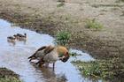 鳥たちが平和に過ごすンゴロンゴロ自然保護区