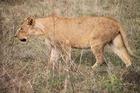 野生のライオンは動物園とはケタ違いの迫力