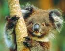カバシャムワイルドライフパークでコアラに会おう