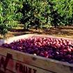 収穫したばかりのリンゴ