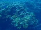 まるで森のような珊瑚。世界遺産なだけあります!