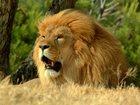 迫力満点のライオンもサファリではすぐ近くにいる!