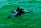 クルーズボートに近づくイルカ