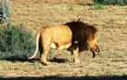 獲物を捉え、満足げなライオンの雄