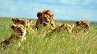 マニヤラ湖国立公園でライオンの家族に出会う