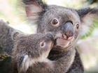 可愛い親子コアラにも会えるかも