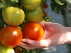 セルフォス温室栽培センターのおいしそうなトマト