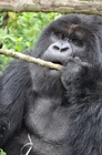 ルワンダの手つかずの大自然の中でゴリラを見る
