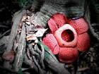 グヌンガディン国立公園では世界最大のラフレシアが見られます。
