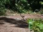 国の天然記念物となっている貴重なヤンバルクイナを観察できるチャンス!