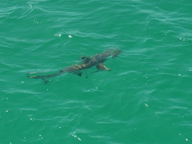 ランチ中にサメやカメが見れることも!