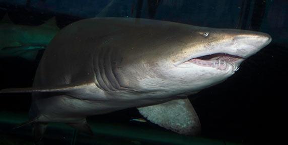 迫力のサメ