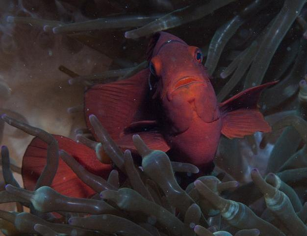 ナイトダイブでは思いがけない魚に出会う