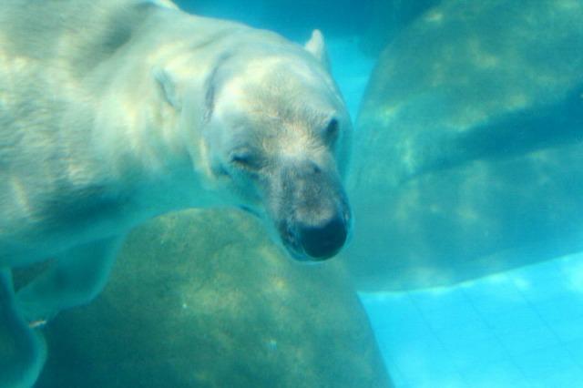 常夏の白熊、やっぱり暑いかな