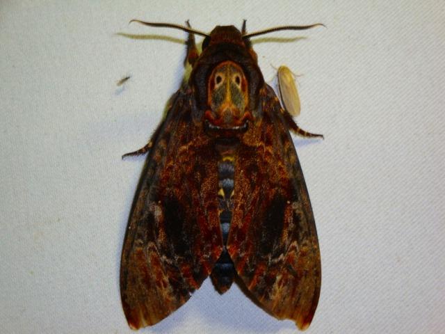 こんな珍しい蛾も!