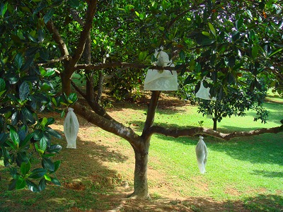 様々な南国フルーツが見られるフルーツ園