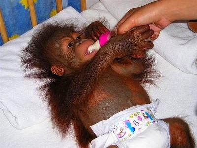 生後間もないオラウータンの赤ちゃん