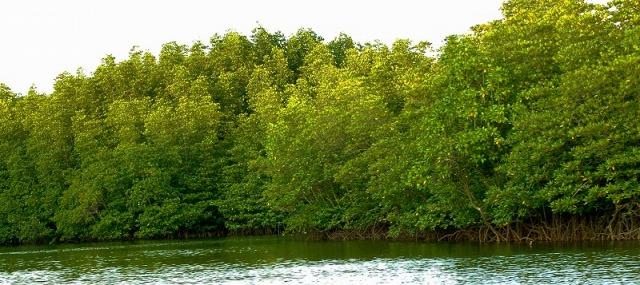川の両サイドの湿地帯に広がるマングローブ