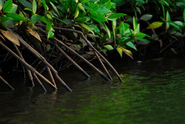 珍しいマングローブの生態系を間近で見られる!!