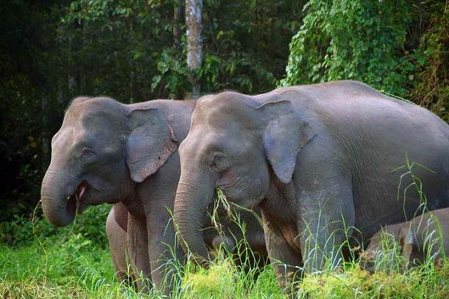 ボルネオピグミー象