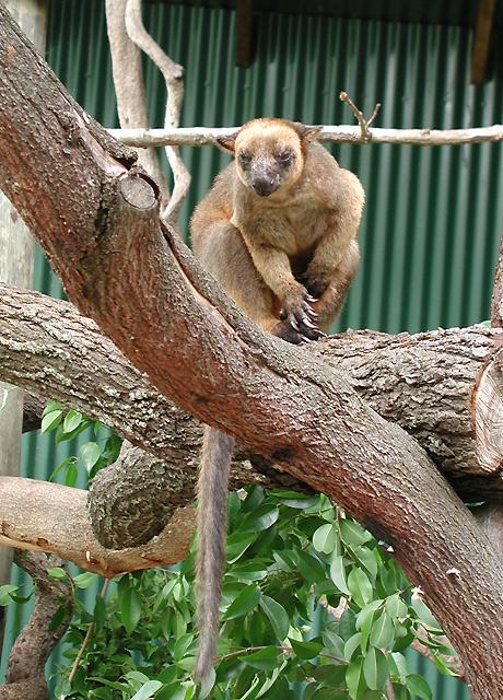 珍しい木登りカンガルーを見ることができます