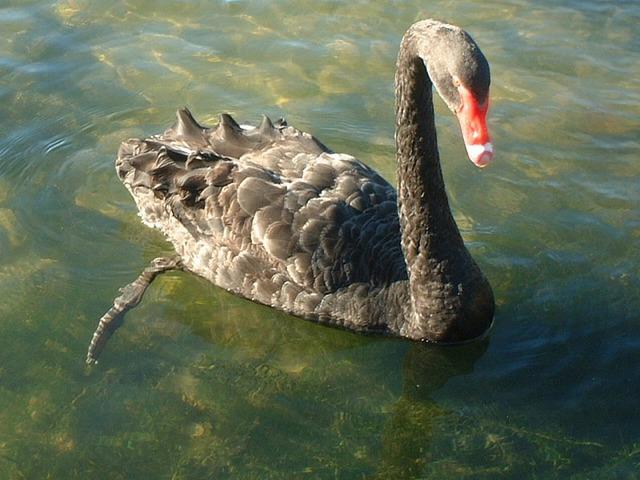 ロトルア湖の黒鳥