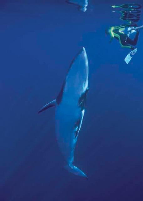 グレートバリアリーフの海にやってくるミンククジラ