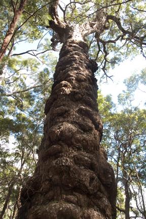 熱帯雨林の木