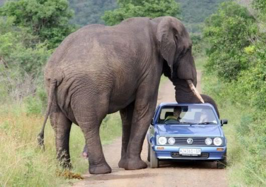 象に大接近