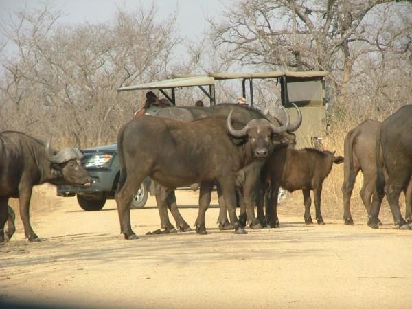 野牛の群れ