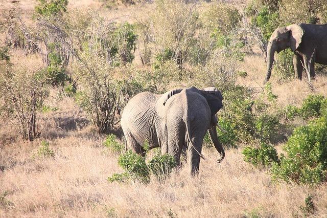 マサイマラ国立保護区で生き生きと暮らす象