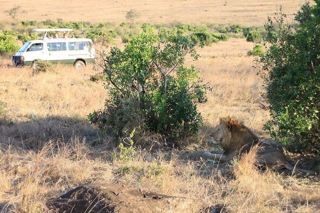 ライオン発見!