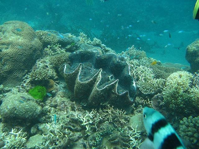 色とりどりの元気な珊瑚礁と大きなシャコ貝!
