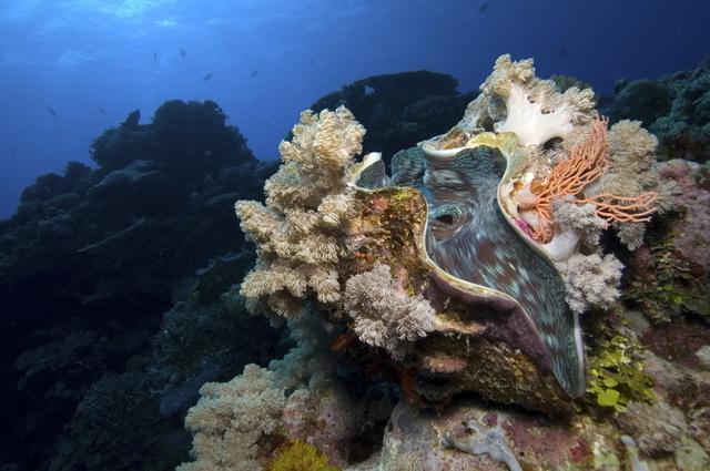 迫力満点の巨大シャコ貝も多く見られます