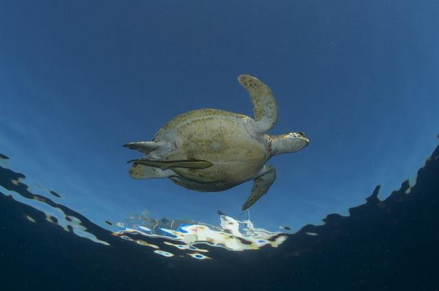 ダイバーに人気の海ガメ、遭遇率高めです