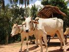 牛車に乗って遺跡観光(バコン寺院~プレア・コー)