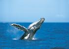 野生のイルカに餌付け&ザトウクジラ観察!タンガルーマドルフィンツアー&クジラウォッチング【6月~10月末 期間限定】