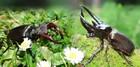 マレーシア昆虫教室!憧れのオオカブトを親子で手掴みする感動体験【オンライン体験/Zoom利用 】