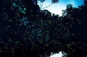 マレーシア日帰り! 真夏のクリスマスツリーあぴあぴ(蛍/ホタル)鑑賞午後ツアー【日本語ガイド/夕食付】