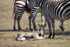 野生の動物王国ケニア 2泊3日の旅-マサイマラ国立保護区&ナクル湖国立公園 [ナイロビ発]