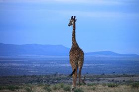 ナイロビ発 マサイマラ国立保護区でサファリキャンプ 3泊4日の旅(英語混載ツアー)