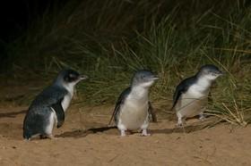 ペンギンパレードとフィリップ島(コアラ&カンガルー)