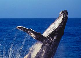 クジラウォッチングクルーズ 99%の遭遇率! [午前または午後/ 期間限定5月中旬~10月]