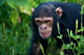 野生のチンパンジーに会いに行く!大自然満喫4泊5日ウガンダサファリツアー【エンテベ空港発着】