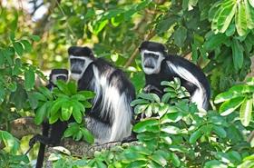 ゴリラ&チンパンジーに出会う!4泊5日ブウィンディ原生国立公園トレックツアー【英語ガイド/カンパラまたはエンテベ空港発着】
