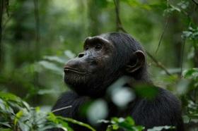 チンパンジーに会いに行こう!キバレのゲームドライブ&クイーンエリザベス国立公園ボートクルーズ2泊3日【カンパラ発着/英語ガイド】