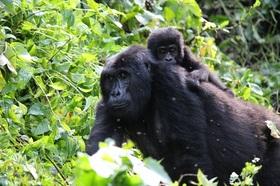 野生のゴリラとチンパンジーに会える!トレッキングとゲームドライブ&ボートクルーズ3泊4日【カンパラ発着/英語ガイド】